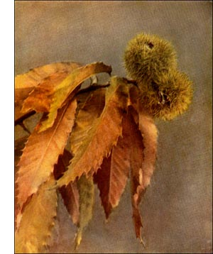 Golden Leaved Chestnut Tree