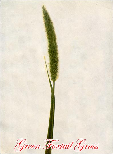 Green Foxtail picture