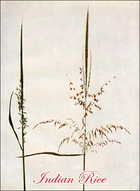 Indian Rice Grass