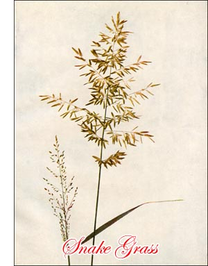 Strong Scented Eragrostis Grass
