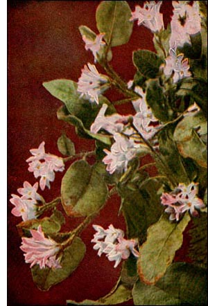 Exotic Trailing Arbutus flowers